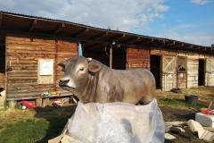 alois býk 5